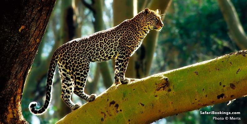 Leopard standing on a tree branch