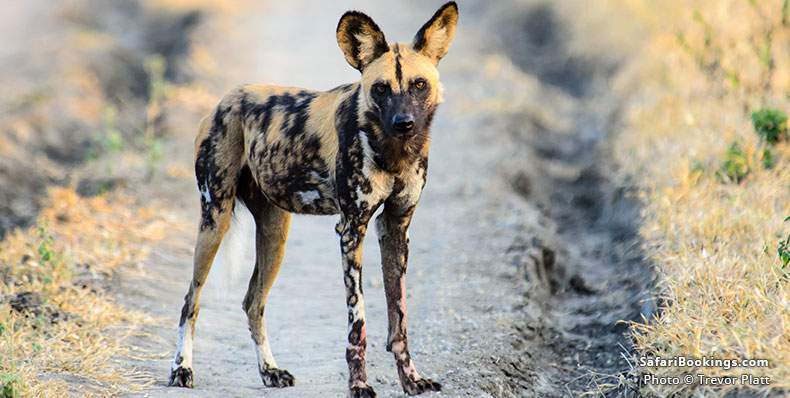 African Wild Dog standing on a track at Nyerere (Selous) National Park