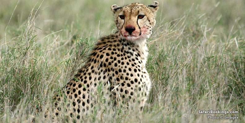 Cheetah at Serengeti National Park