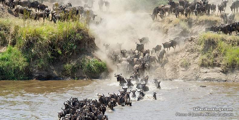 Wildebeest crossing the Mara River at Serengeti National Park