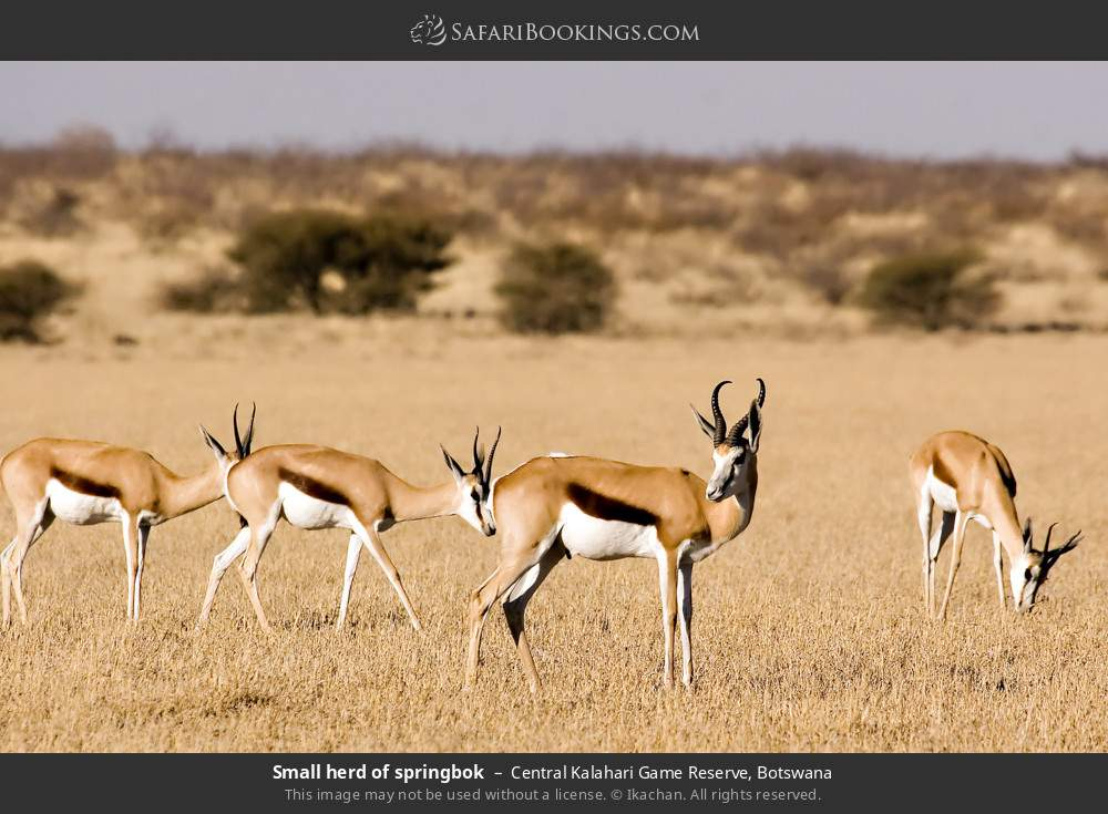 Small herd of springbok in Central Kalahari Game Reserve, Botswana