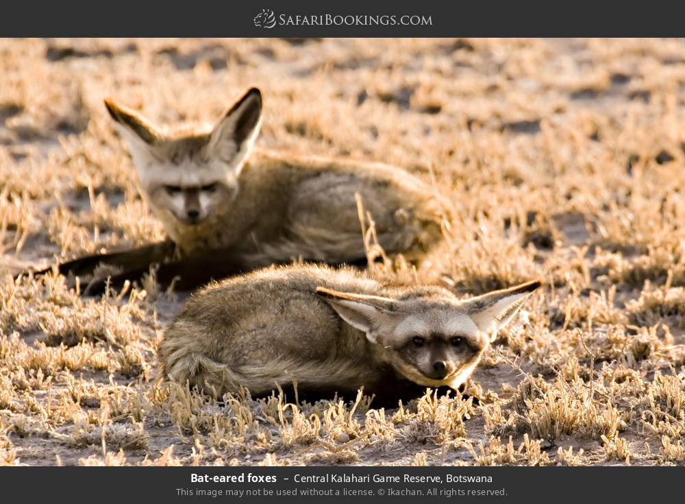 Bat-eared foxes in Central Kalahari Game Reserve, Botswana