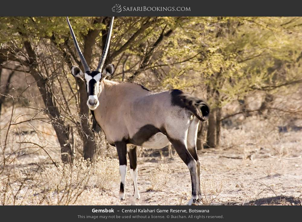 Gemsbok in Central Kalahari Game Reserve, Botswana