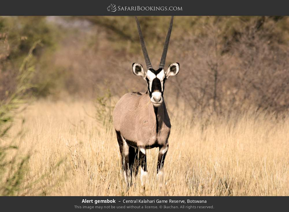 Alert gemsbok in Central Kalahari Game Reserve, Botswana
