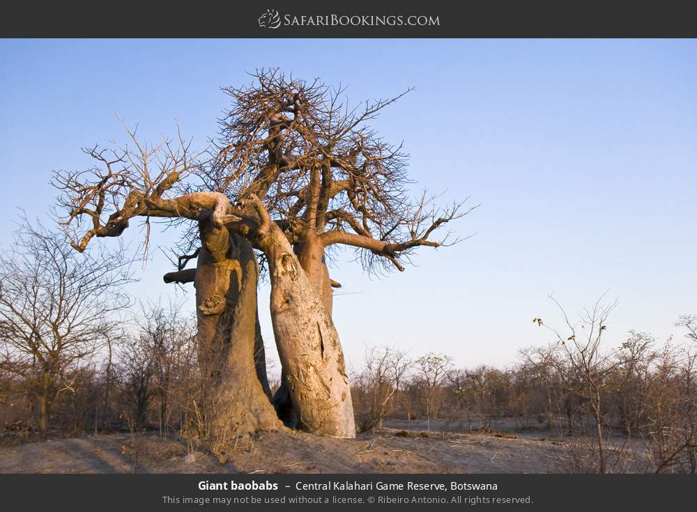 Giant baobabs in Central Kalahari Game Reserve, Botswana