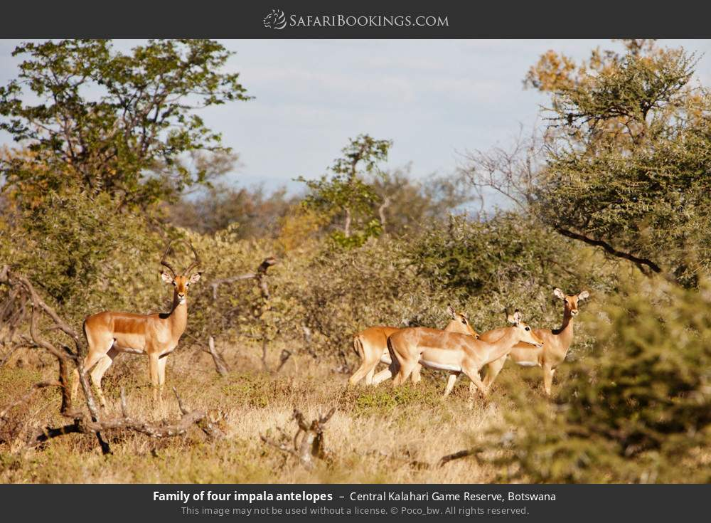 Family of four impala antelopes in Central Kalahari Game Reserve, Botswana