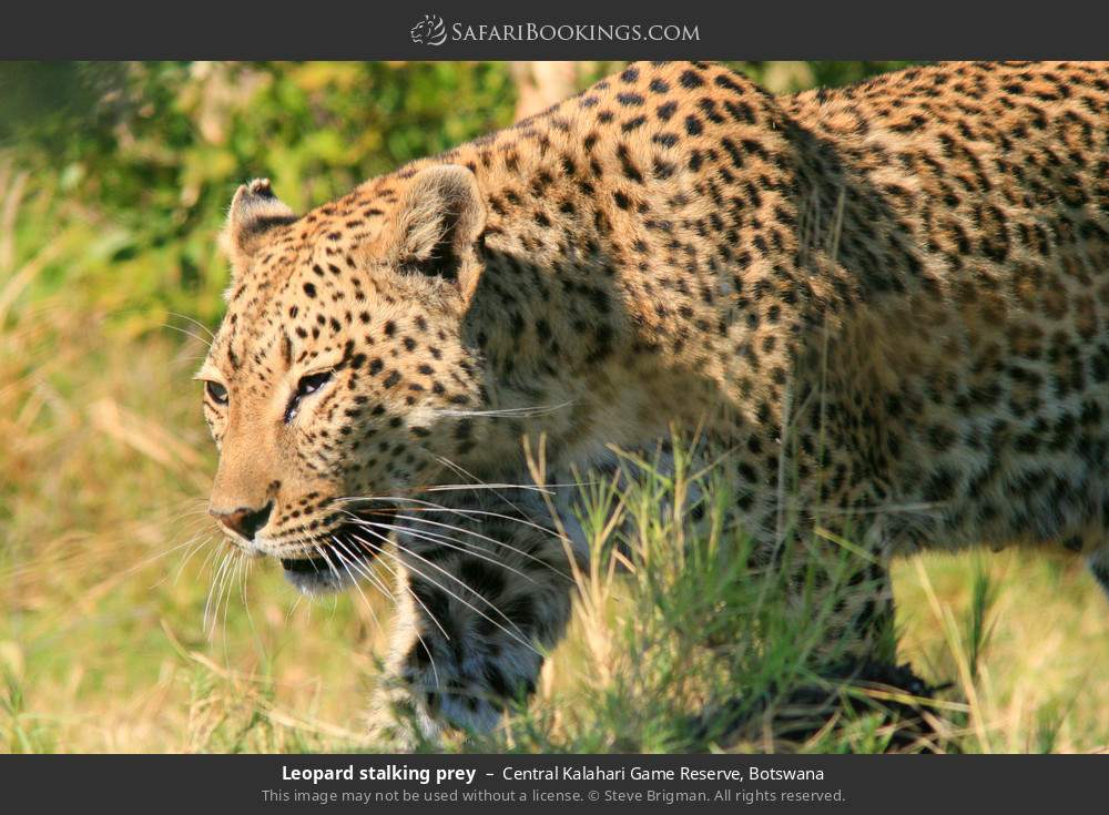 leopard stalking prey in Central Kalahari Game Reserve, Botswana