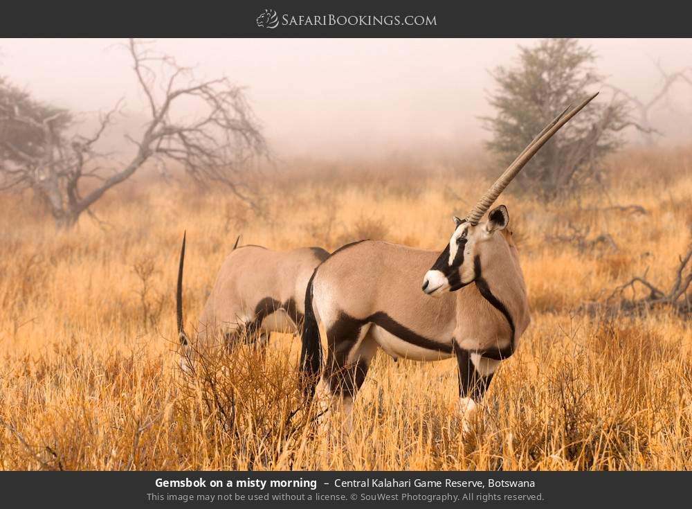 Gemsbok on misty morning in Central Kalahari Game Reserve, Botswana