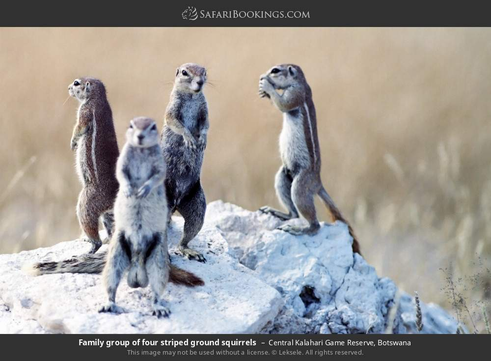 Family group of four striped ground squirrels in Central Kalahari Game Reserve, Botswana