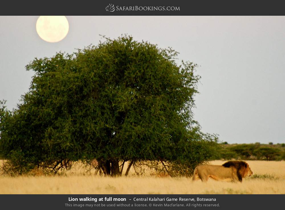 Lion walking at full moon in Central Kalahari Game Reserve, Botswana