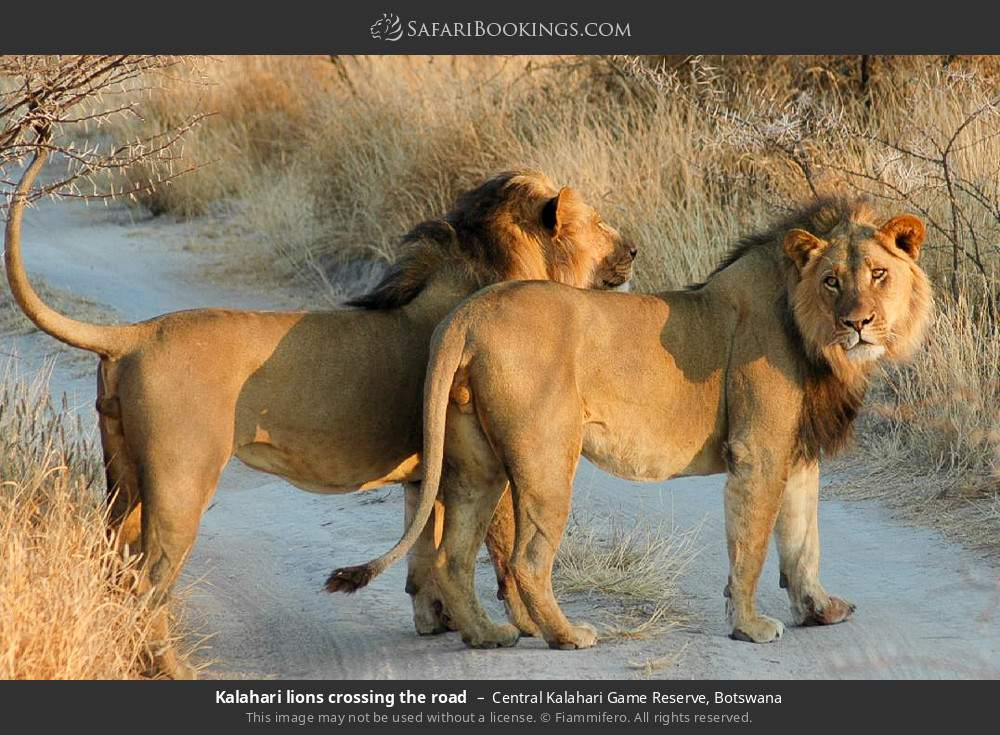 Kalahari lions crossing the road in Central Kalahari Game Reserve, Botswana
