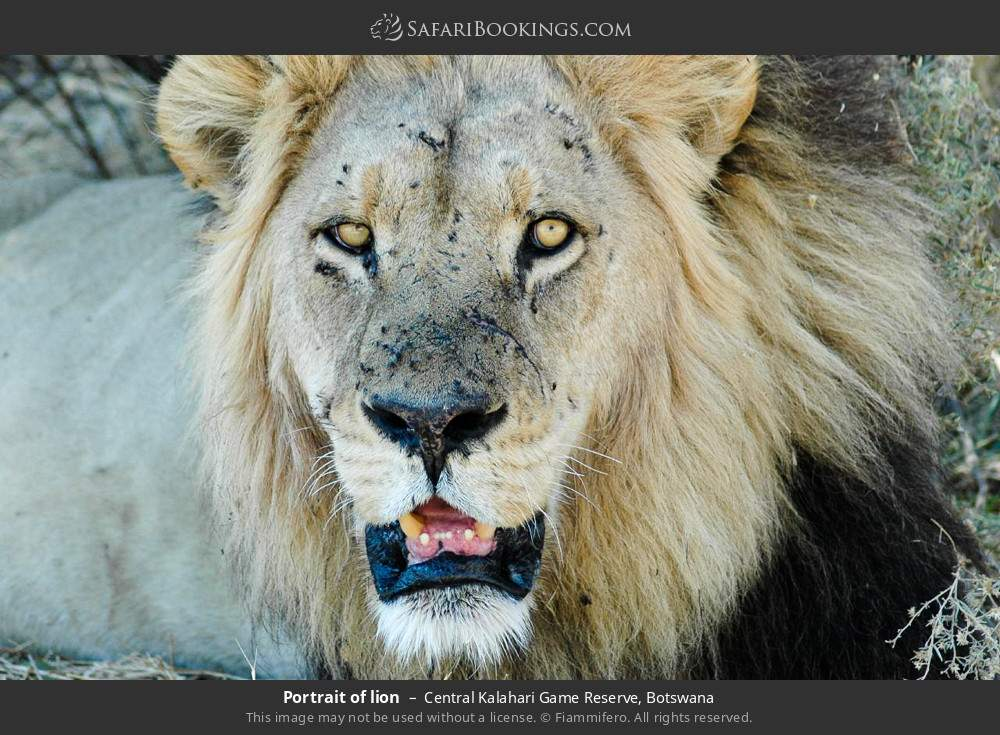 Portrait of lion in Central Kalahari Game Reserve, Botswana