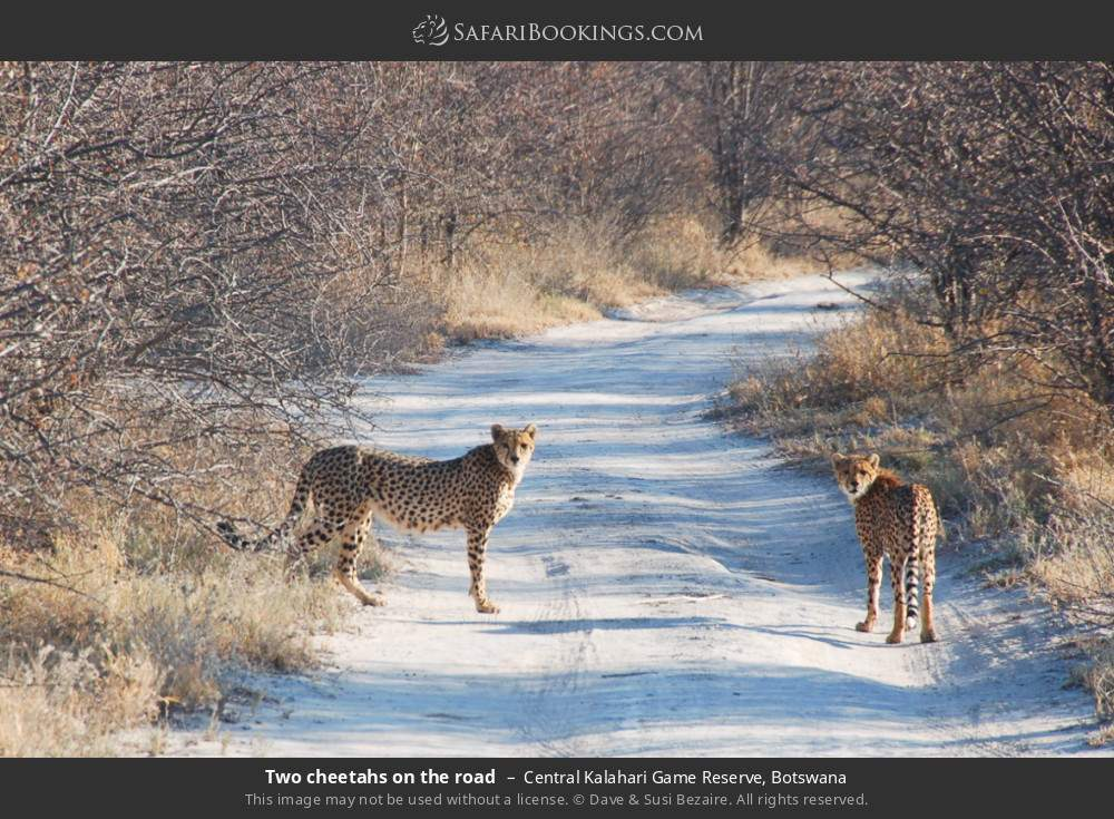 Two cheetahs on the road in Central Kalahari Game Reserve, Botswana
