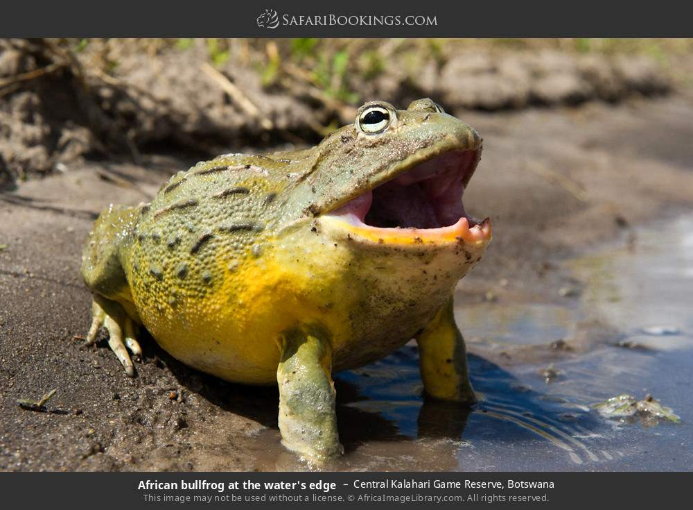 African bullfrog at the water's edge in Central Kalahari Game Reserve, Botswana