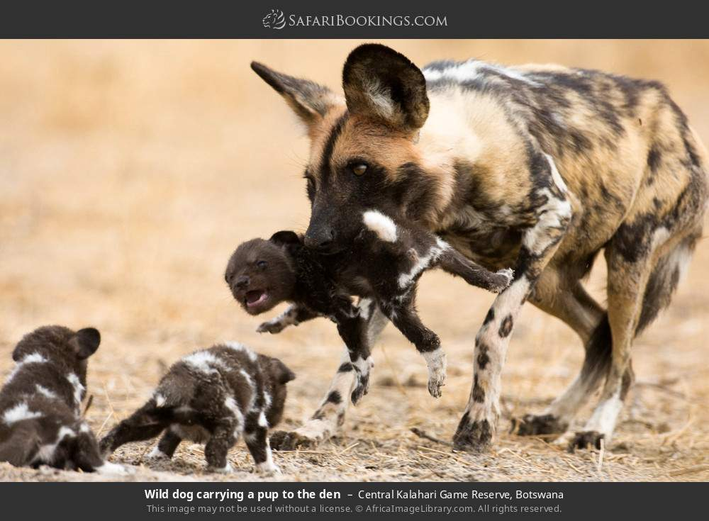 Wild dog carrying a pup to the den in Central Kalahari Game Reserve, Botswana