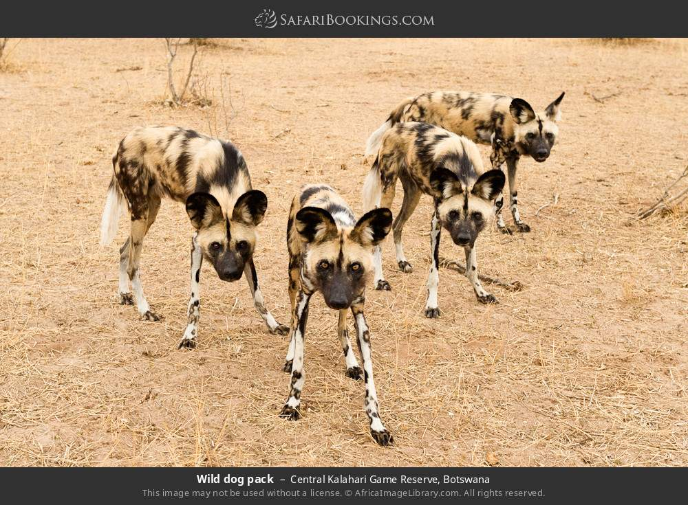 Wild dog pack in Central Kalahari Game Reserve, Botswana