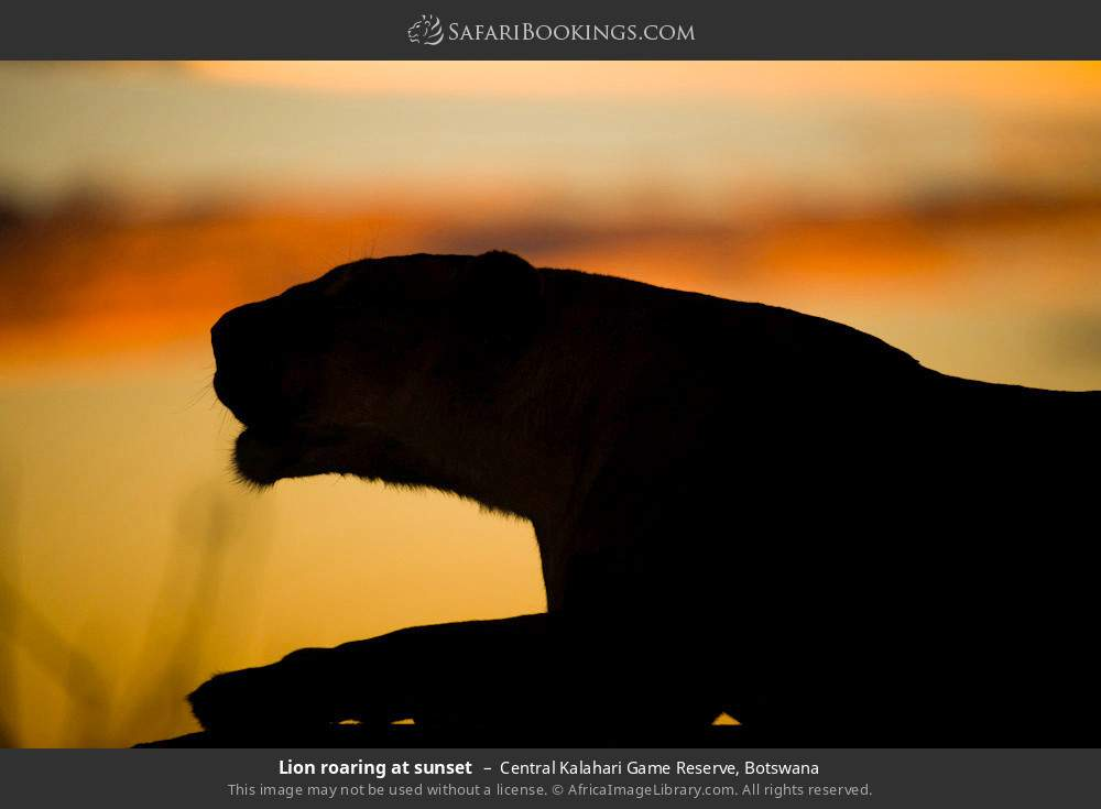 Lion roaring at sunset in Central Kalahari Game Reserve, Botswana