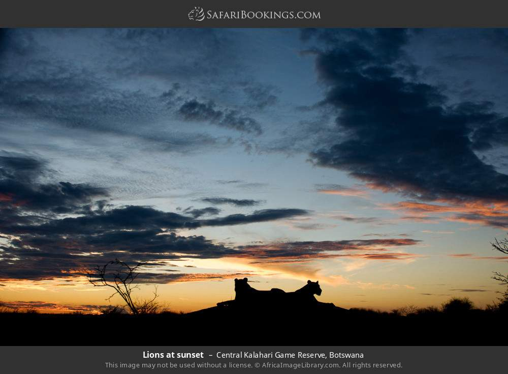 Lions at sunset in Central Kalahari Game Reserve, Botswana