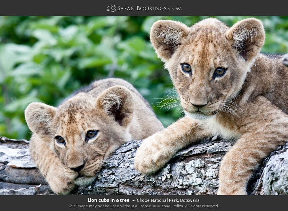 Lion cubs in a tree in Chobe National Park, Botswana