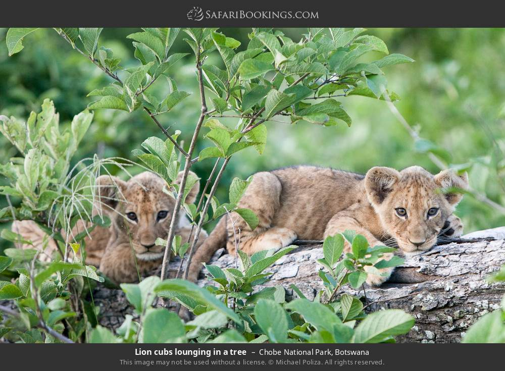 Lion cubs lounging in a tree in Chobe National Park, Botswana