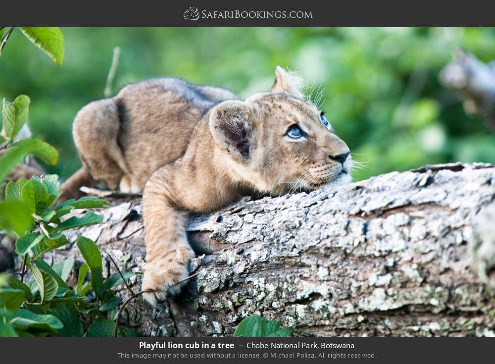 Playful lion cub in a tree in Chobe National Park, Botswana