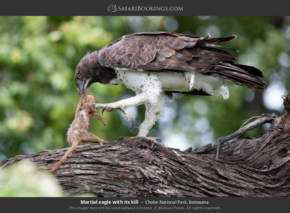 Martial eagle with its kill in Chobe National Park, Botswana