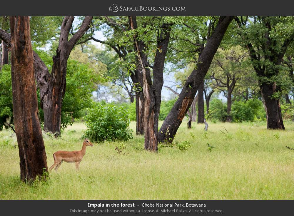Impala in the forest in Chobe National Park, Botswana