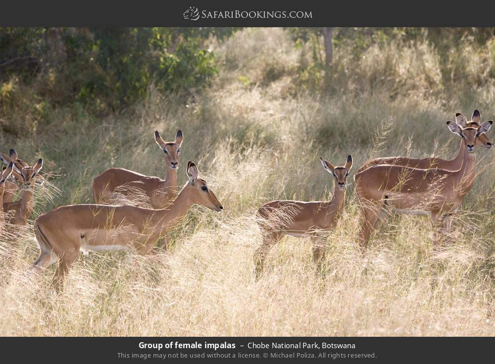 Group of female impalas in Chobe National Park, Botswana