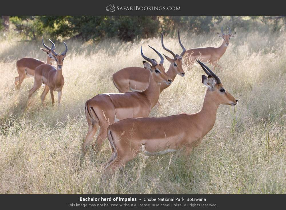 Bachelor herd of impalas in Chobe National Park, Botswana