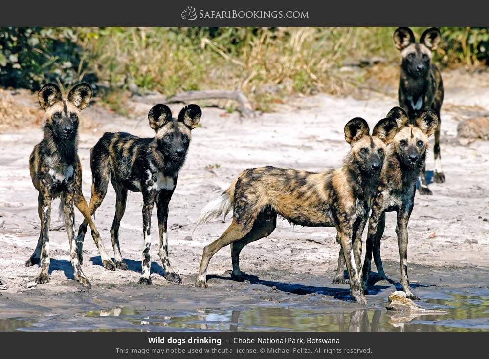 Wild dogs drinking in Chobe National Park, Botswana