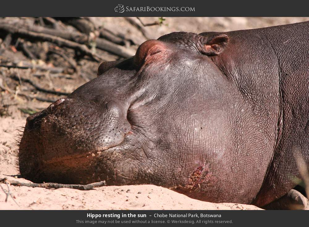 Hippo resting in the sun in Chobe National Park, Botswana