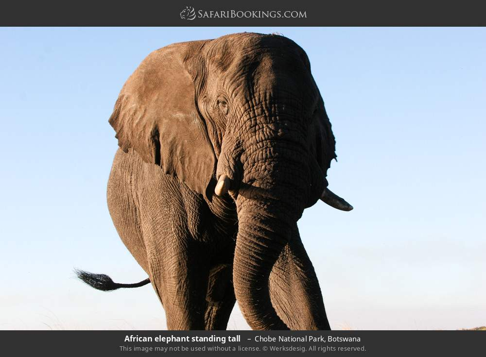 African elephant standing tall  in Chobe National Park, Botswana