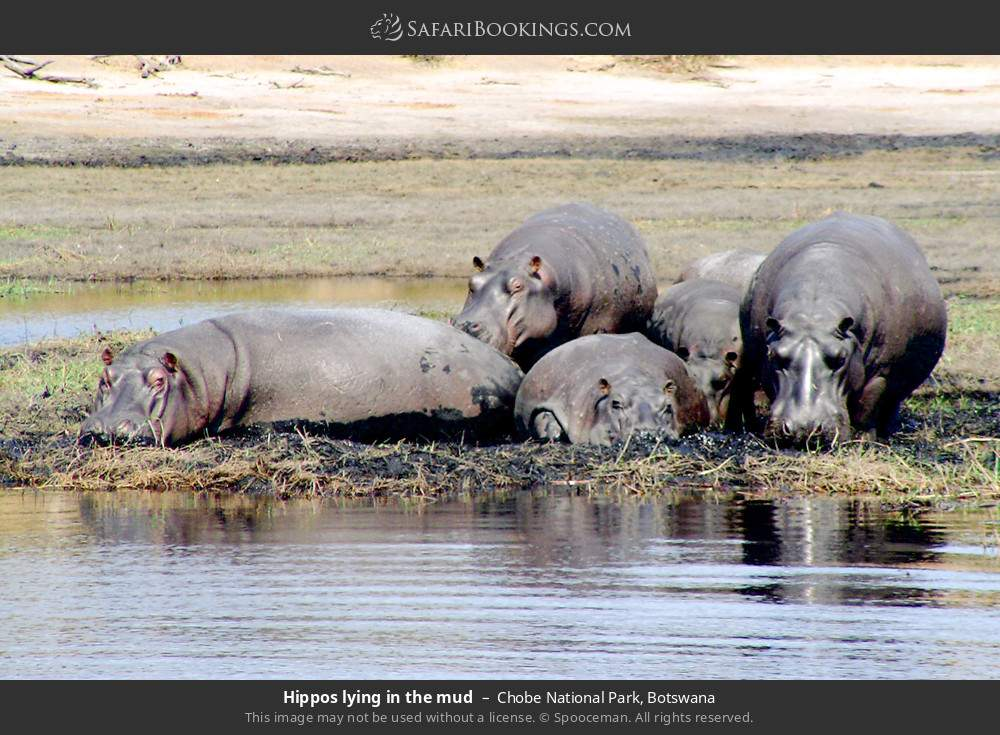 Hippos laying in the mud in Chobe National Park, Botswana