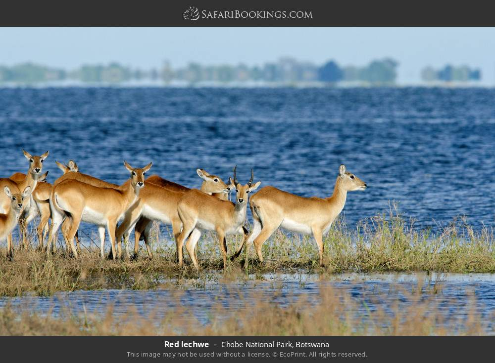 Red lechwe in Chobe National Park, Botswana