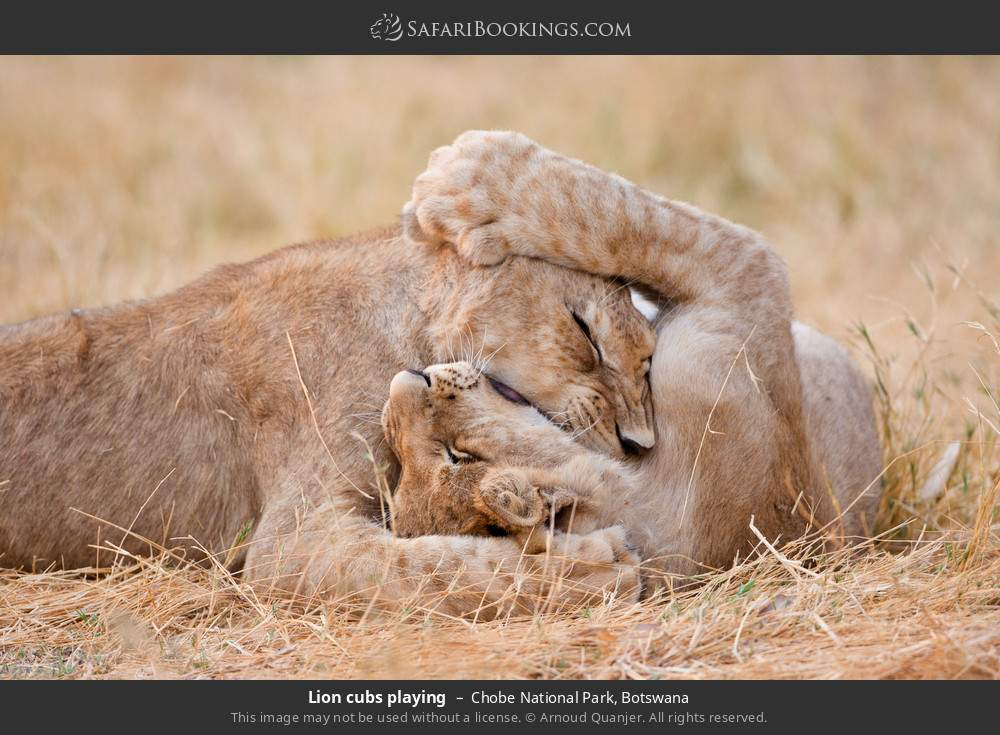 Lion cubs playing in Chobe National Park, Botswana