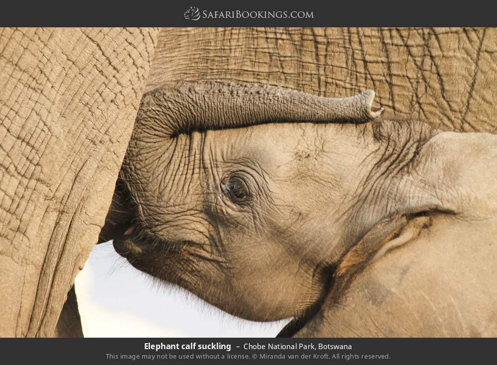 Elephant calf suckling in Chobe National Park, Botswana