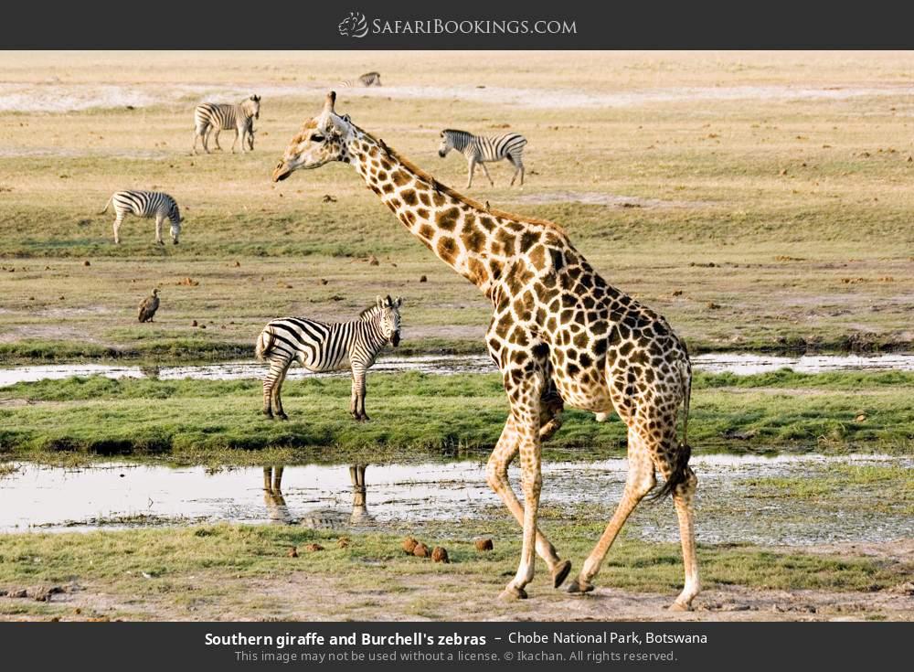 Southern giraffe and Burchell's zebras in Chobe National Park, Botswana