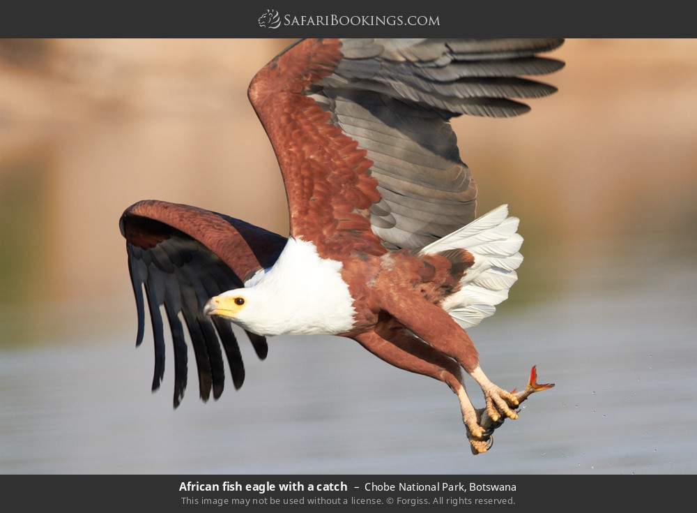 African fish eagle with a catch in Chobe National Park, Botswana