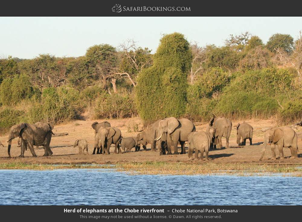 Herd of elephants at the Chobe riverfront in Chobe National Park, Botswana