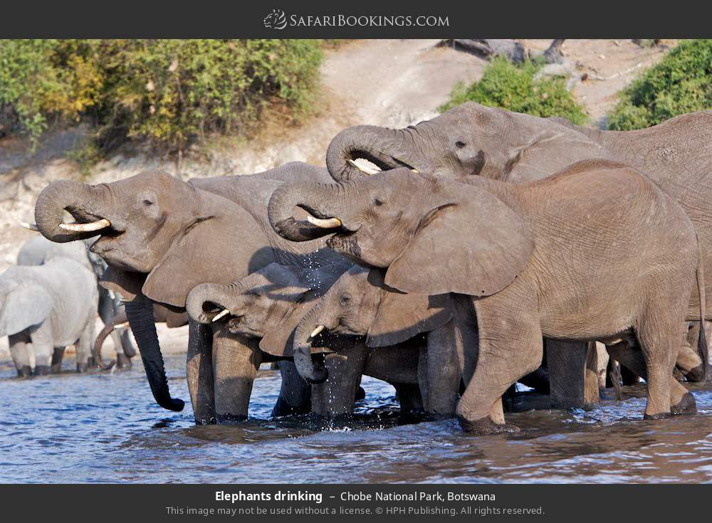 Elephants drinking in Chobe National Park, Botswana