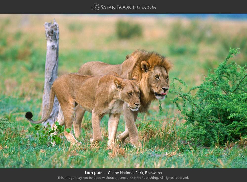 Lion pair in Chobe National Park, Botswana