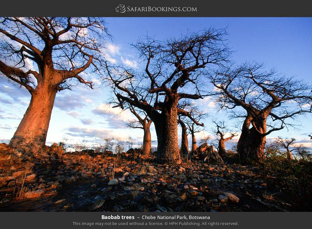 Baobab trees in Chobe National Park, Botswana