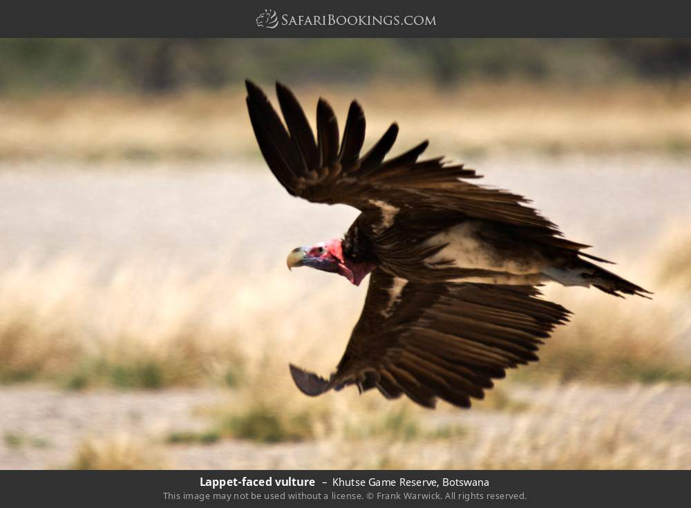 Lappet-faced vulture in Khutse Game Reserve, Botswana