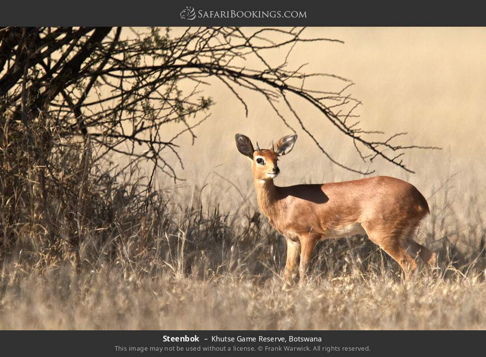 Steenbok in Khutse Game Reserve, Botswana