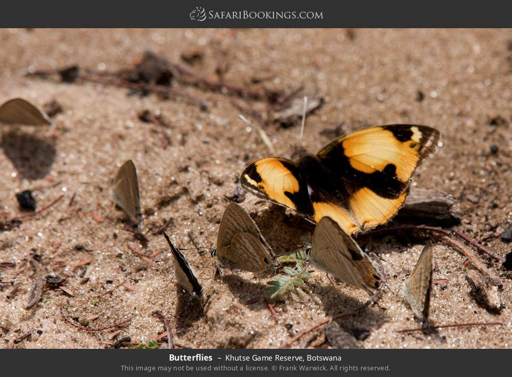Butterflies in Khutse Game Reserve, Botswana