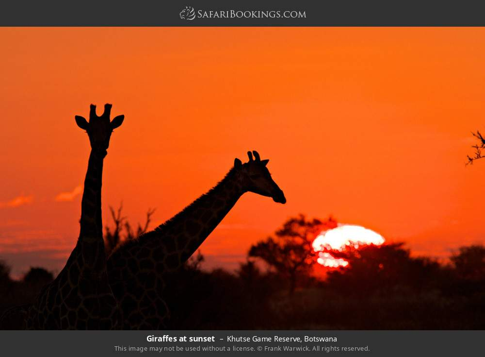 Giraffes at sunset in Khutse Game Reserve, Botswana