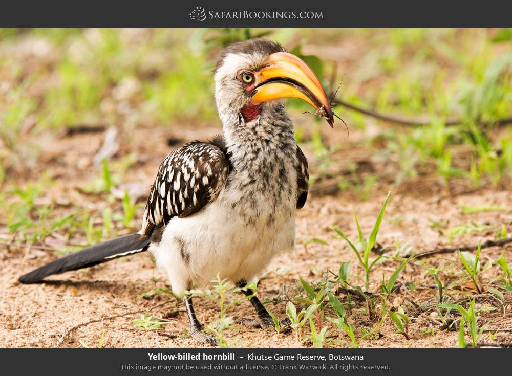 Yellow-Billed Hornbill in Khutse Game Reserve, Botswana