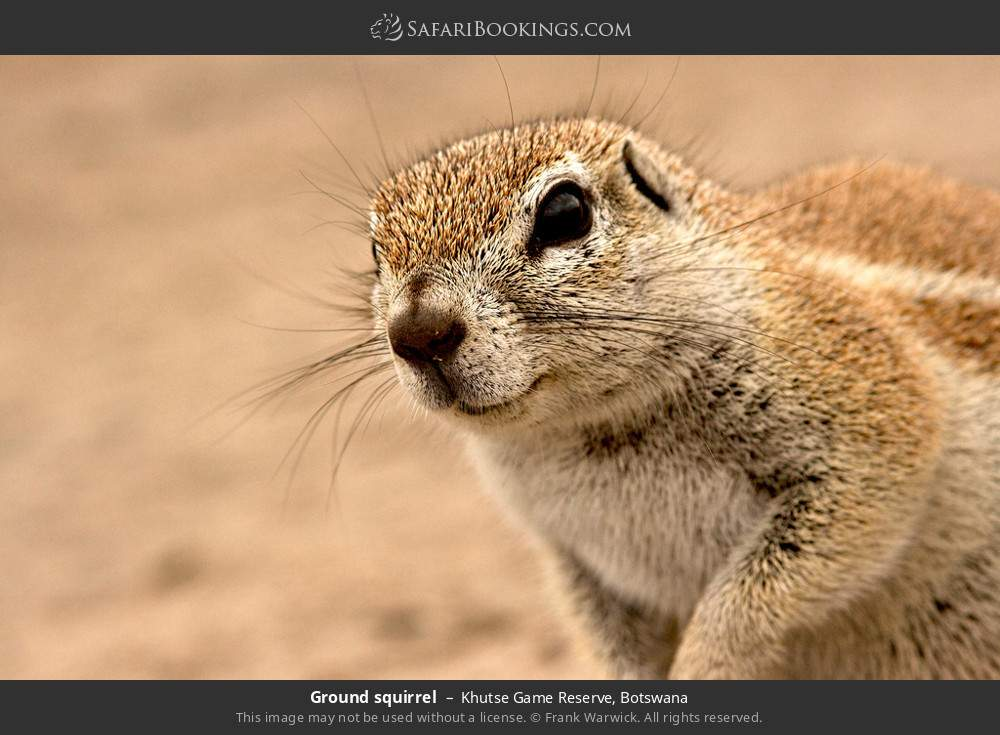 Ground squirrel in Khutse Game Reserve, Botswana
