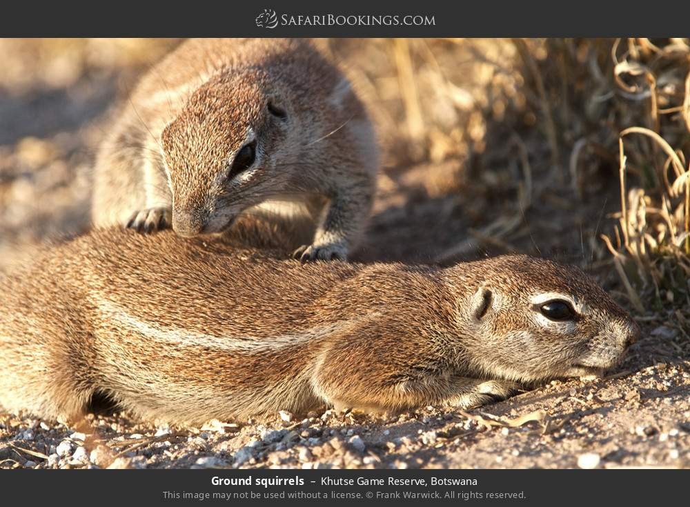 Ground squirrels in Khutse Game Reserve, Botswana