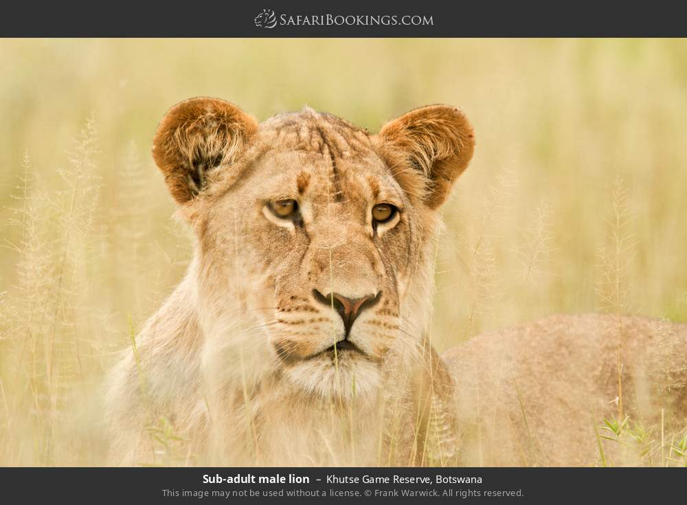 Sub-adult male lion in Khutse Game Reserve, Botswana
